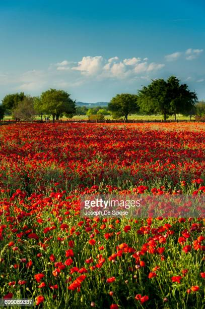 A field of red poppies with a stand of trees in the background.