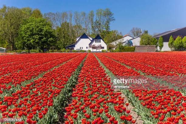 field red tulips front house noordoostpolder