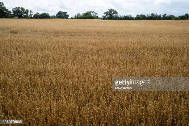 Field of ripening oats on 1st August in Hanbury, United Kingdom. The oat, sometimes called the common oat, is a species of cereal grain grown for its...