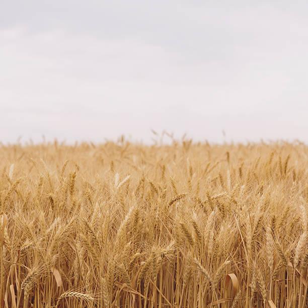 A field of ripening wheat growing, near Pullman in Whitman County.