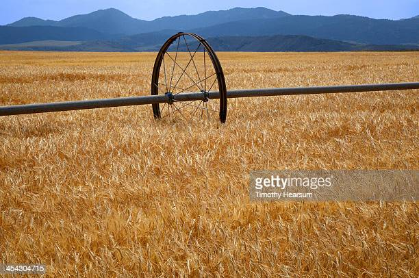 field of ripening wheat with irrigation wheel - timothy hearsum stock photos and pictures