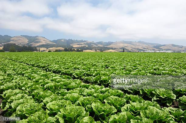 field of romaine lettuce - romaine lettuce stock photos and pictures