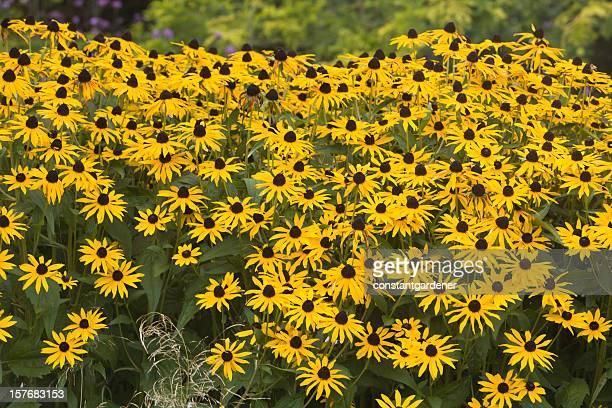 Field Of Rudbeckia Goldstrum