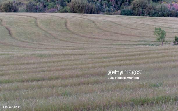 field ryegrass grass lolium multiflorum flowering