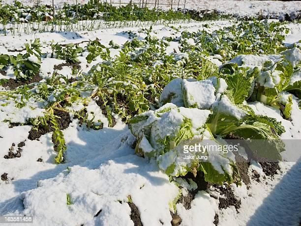 field of snow covered cabbage - kagawa ストックフォトと画像