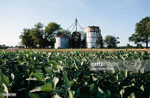 Field of soybeans and grain elevator