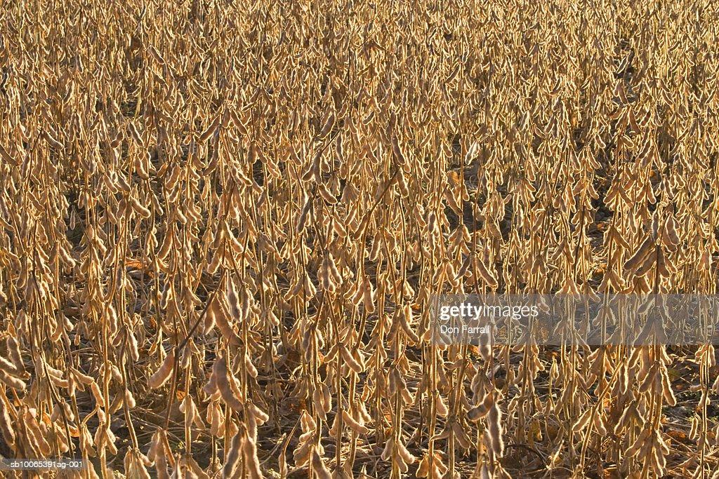 Field of soybeans : Foto stock