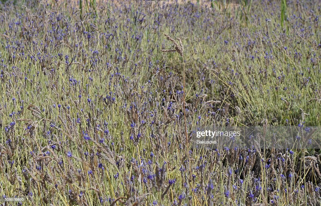 Field of Spanish lavender : Stockfoto