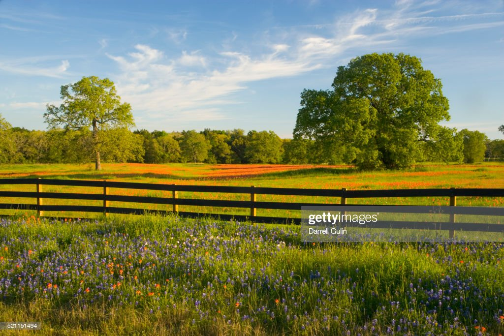 Field Of Spring Flowers In Texas Hill Country Stock Photo Getty Images
