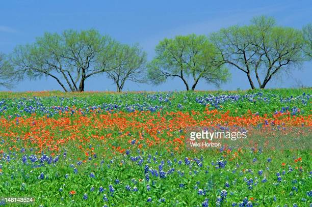 Field of spring wildflowers Texas bluebonnets and Texas paintbrush with four mesquite trees in Texas hill country Bluebonnet Lupinus texensis...