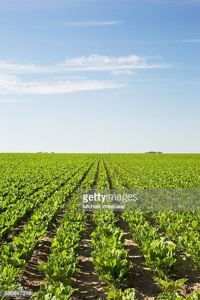 In Season: Sugar Beets