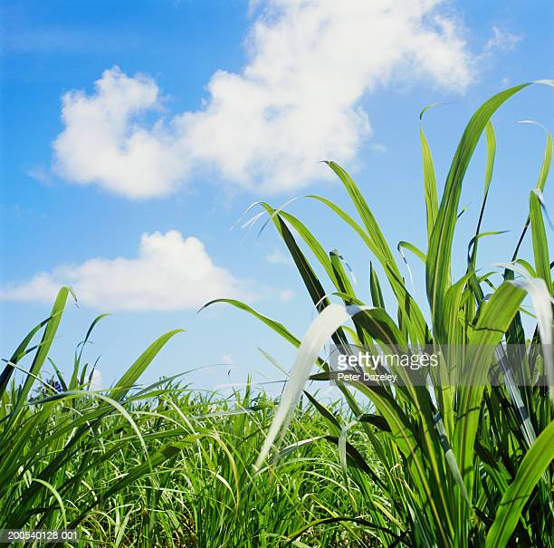 Field of sugar cane, low angle view
