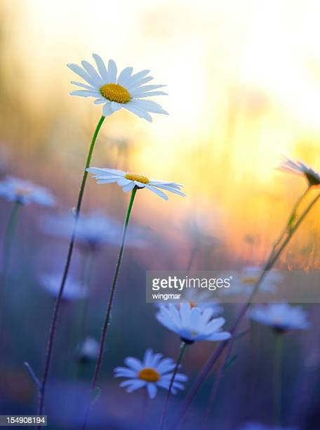 field of summer marguerites in dawn, bavaria, germany