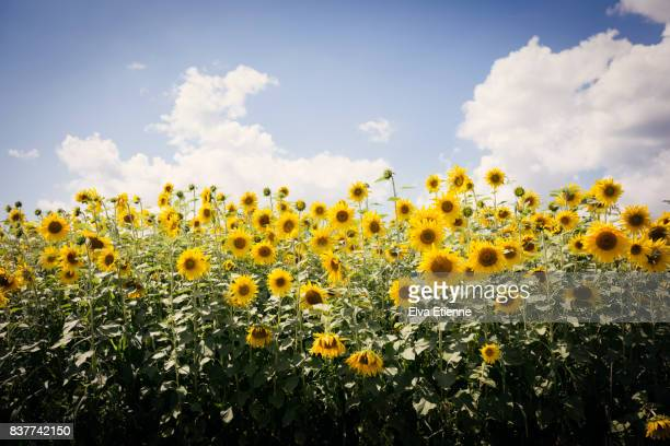 field of summer sunflowers - girasoli foto e immagini stock