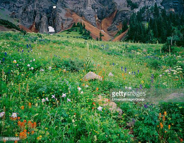 A field of summer wildflowers in Yankee Boy Basin Colorado Potosi Mountain background Larkspur Paintbrush Colorado Columbine Monument Plant July