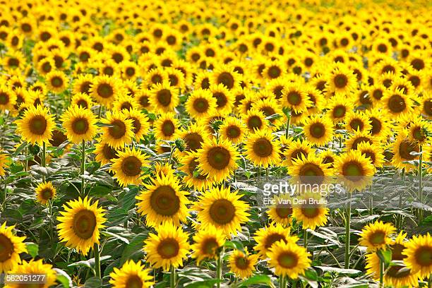 field of sun flowers in italy - eric van den brulle stock pictures, royalty-free photos & images