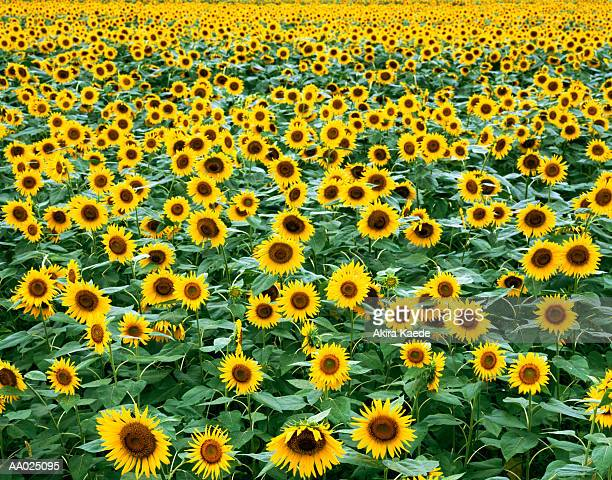 field of sunflower s (helianthus sp.) - girasoli foto e immagini stock