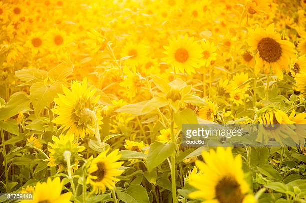 Field of sunflowers at sunrise, selective focus