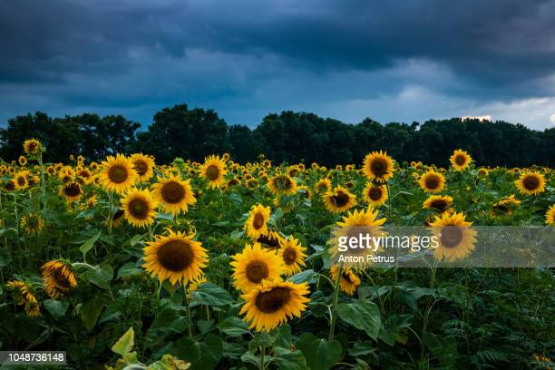 Field of sunflowers during a thunderstorm