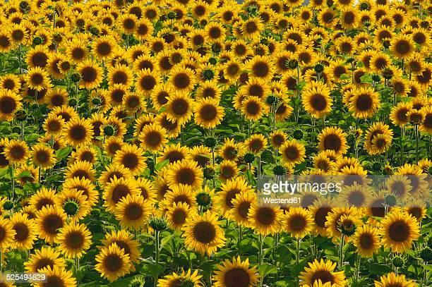 Field of sunflowers, Helianthus annuus