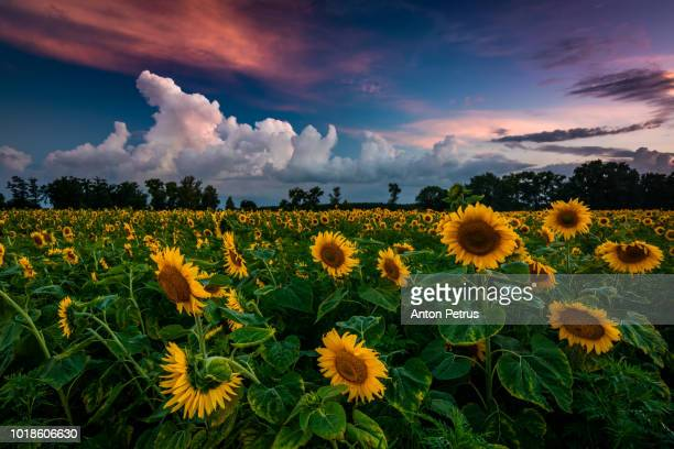 Field of sunflowers in a beautiful sunset