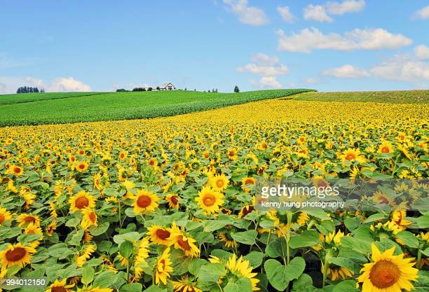 field of sunflowers in full bloom - hokkaido stock pictures, royalty-free photos & images