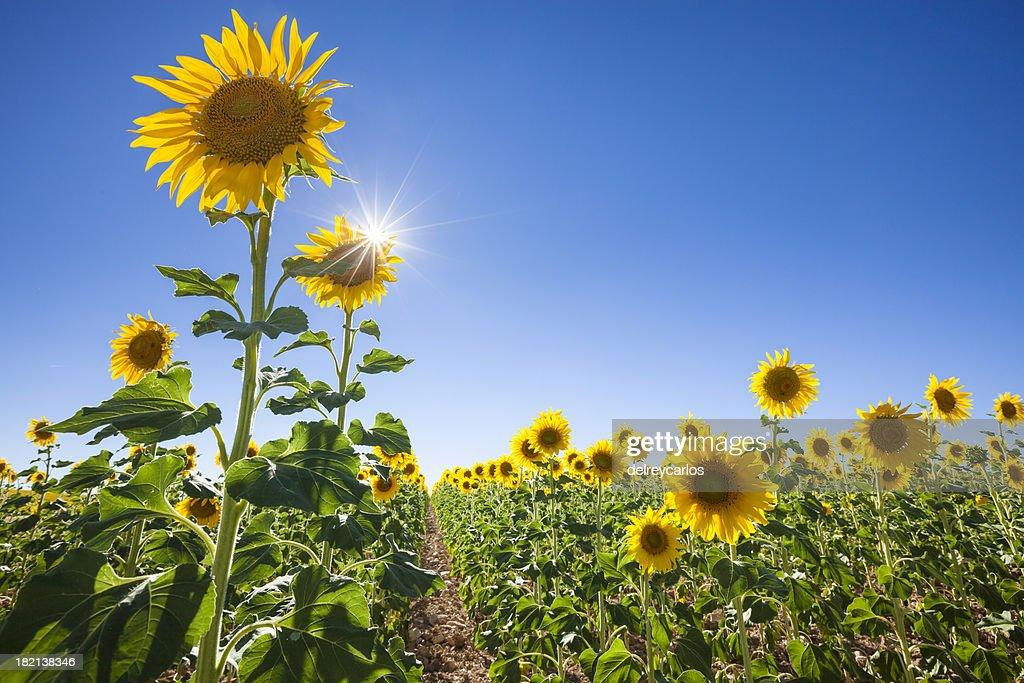 _MG_5907 Field of sunflowers .jpg Size:14 MB 5616x : Stock Photo