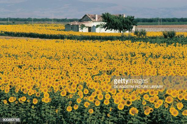 Field of sunflowers near Lucera Apulia Italy