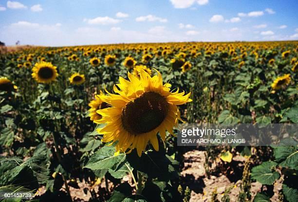 A field of sunflowers near Troia Apulia Italy