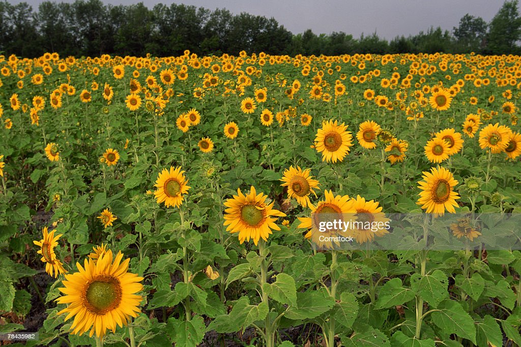 Field of sunflowers , North Dakota : Stockfoto