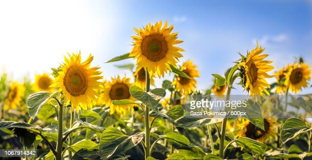 field of sunflowers - girasoli foto e immagini stock