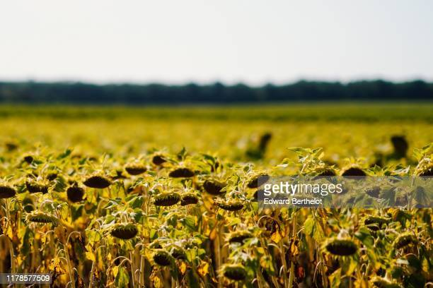 field of sunflowers - edward berthelot photos et images de collection