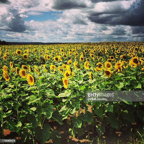 """field of sunflowers - """"danielle donders"""" stock pictures, royalty-free photos & images"""