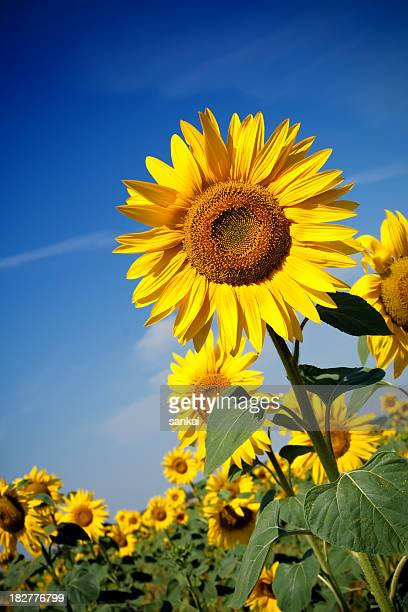 field of sunflowers - give way stock pictures, royalty-free photos & images