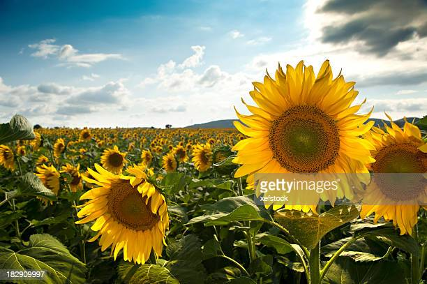 Campo de sunflowers