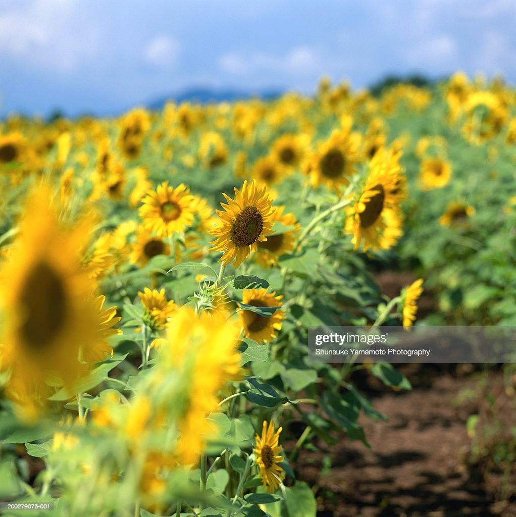 Field of sunflowers (Helianthus sp.) : Stock Photo