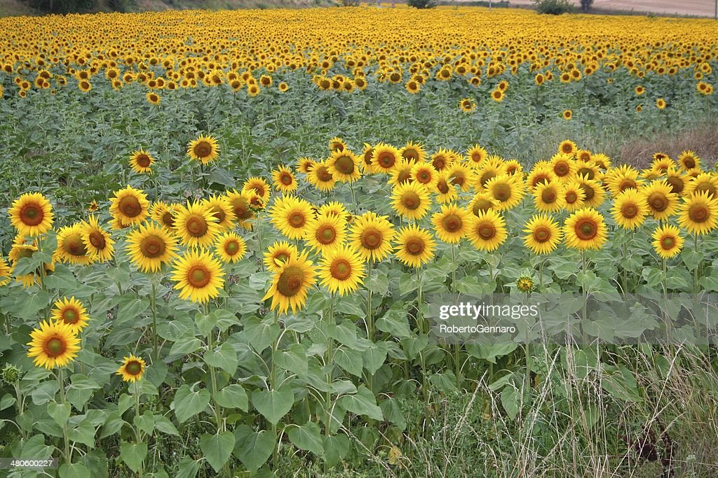 Field of sunflowers : Stock Photo