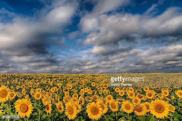 field of sunflowers - achim thomae stock-fotos und bilder