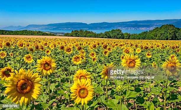 field of sunflowers - ヌーシャテル ストックフォトと画像