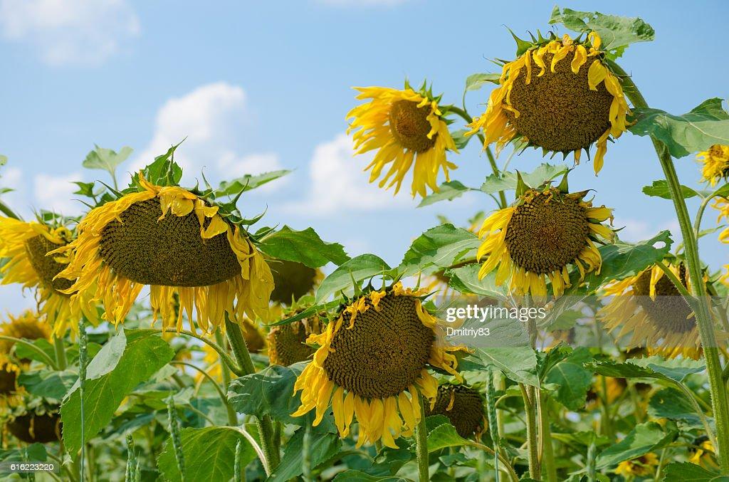 Field of sunflowers. : Stockfoto
