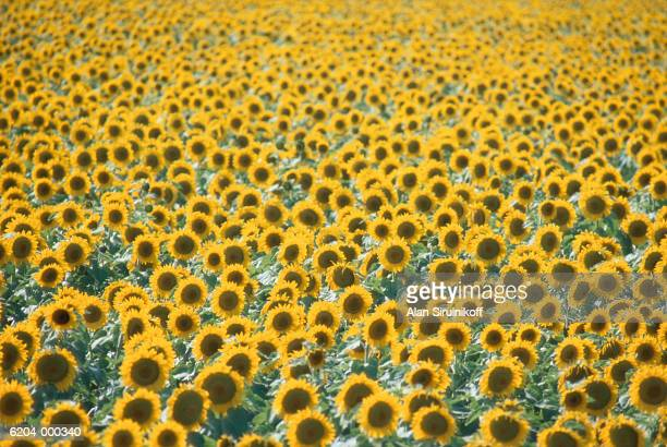 field of sunflowers - sirulnikoff stock pictures, royalty-free photos & images