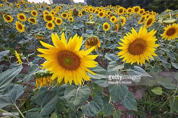 a field of sunflowers - massimo pizzotti foto e immagini stock