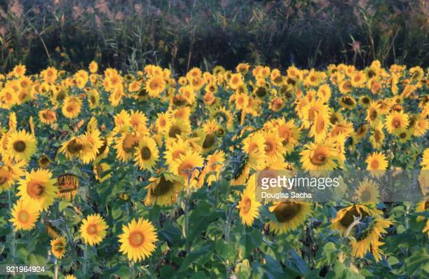 field of sunflowers (helianthus annuus) - helianthus stock photos and pictures