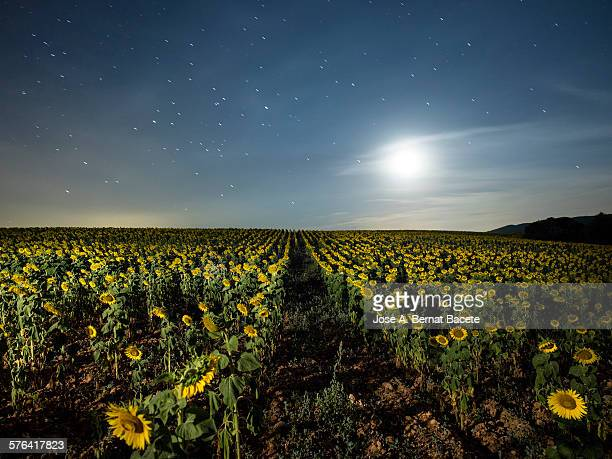 field of sunflowers with full moon - flower moon stock pictures, royalty-free photos & images