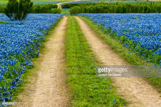 a field of texas bluebonnet wildflowers at the muleshoe bend recreation area. - texas bluebonnet stock pictures, royalty-free photos & images
