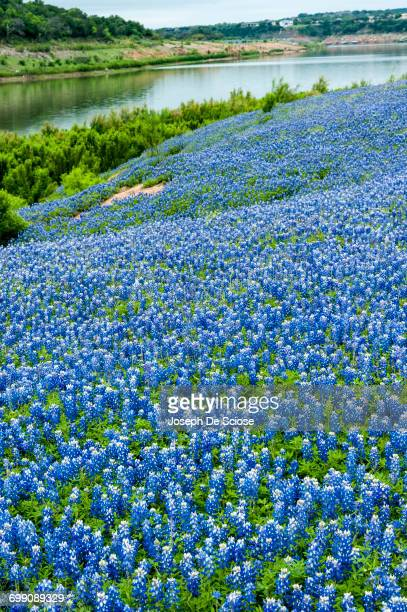 a field of texas bluebonnet wildflowers - texas bluebonnet stock pictures, royalty-free photos & images
