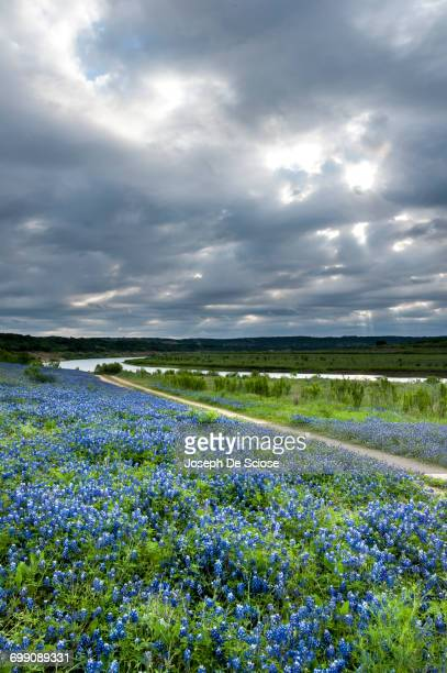 a field of texas bluebonnet wildflowers. - texas bluebonnet stock pictures, royalty-free photos & images