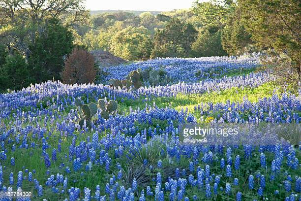 field of texas bluebonnets skimmed by morning sun - state park stock pictures, royalty-free photos & images