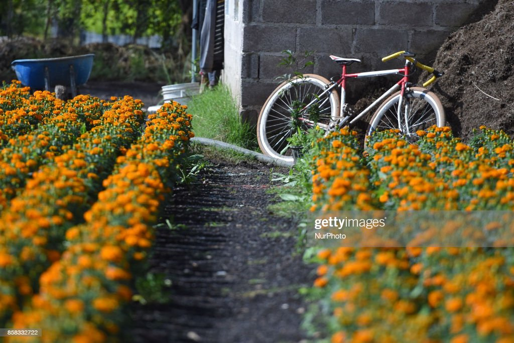 Field of the flower of Cempasuchil for distribution in markets to decorate the offerings on the Day of the Dead. More than 250 thousand flowers of Cempasuchil 'Tagetes erecta' are harvested on the year on October 06, 2017 in Xochimilco, Mexico.