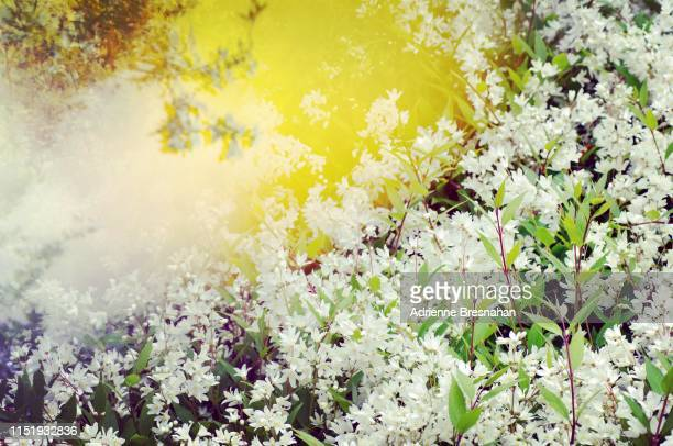 Field of Tiny White Flowers With Golden Prism Light Effects
